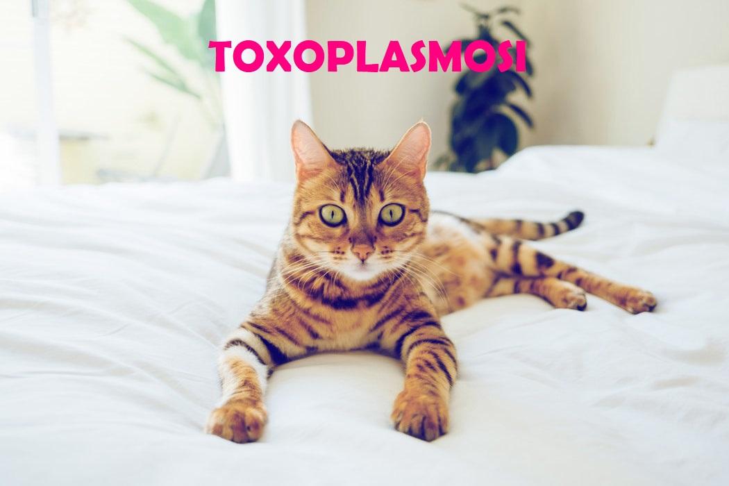 toxoplasmosi chi' è